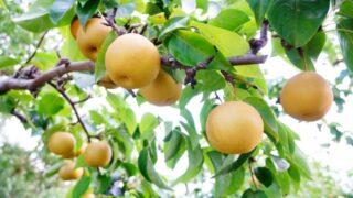 木になる梨